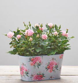 Great flower gift idea. 'Flourishing Love' - Pink rose plants presented in a pretty pale blue and pink floral tin.