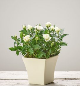 Perfect gift floral idea. Cream flowering rose planted in a cream curved ceramic pot.