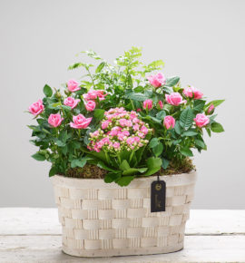Mother's Day Gift Idea: Pink Planted Basket - Featuring pink rose plants, a pink kalanchoe and pteris enisformis, planted in a white wash picnic planter. (Code: M53421MS)